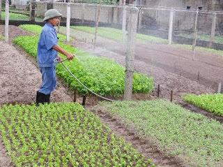 trồng rau - phân trùn quế