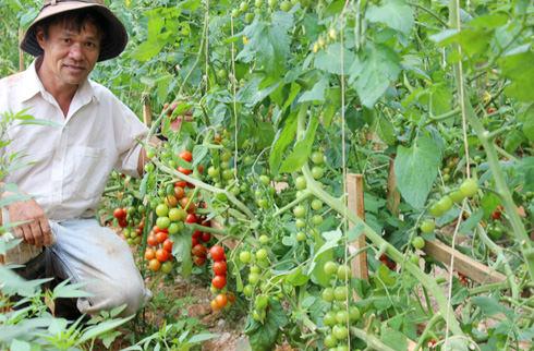 Cà chua - phân trùn quế