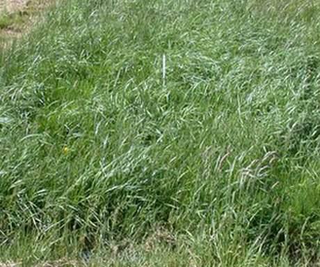 trồng cỏ chống lũ thử nghiệm