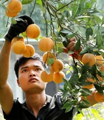 Những tỷ phú trồng cam ở Cao Phong