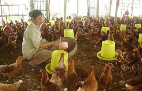 Bổ sung trùn quế cho thức ăn của gà