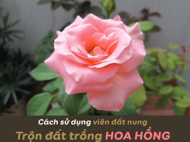 cach-su-dung-vien-dat-nung-tron-dat-trong-hoa-hong