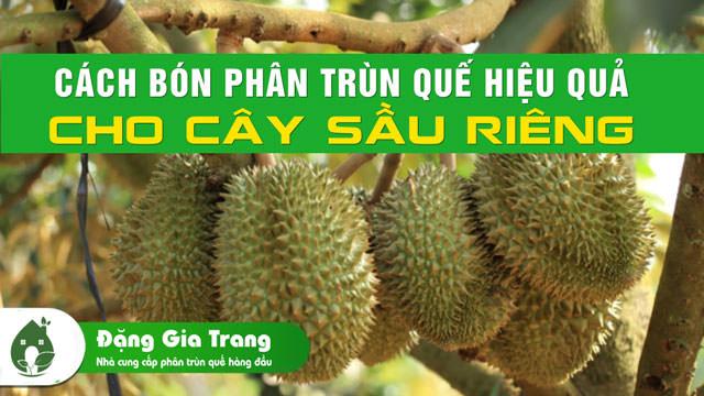 cach-bon-phan-trun-que-hieu-qua-cho-cay-sau-rieng-1