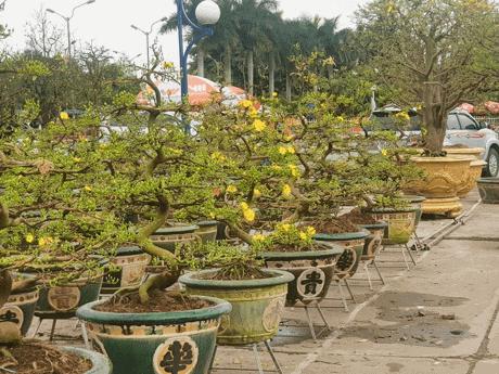 Tại sao phân trùn quế thích hợp cho cây mai?