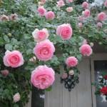 Hoa hồng trùn quế