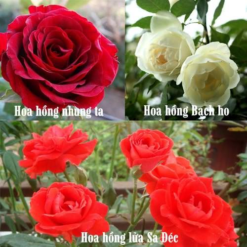 top-6-hoa-hong-cho-nguoi-moi-trong-1